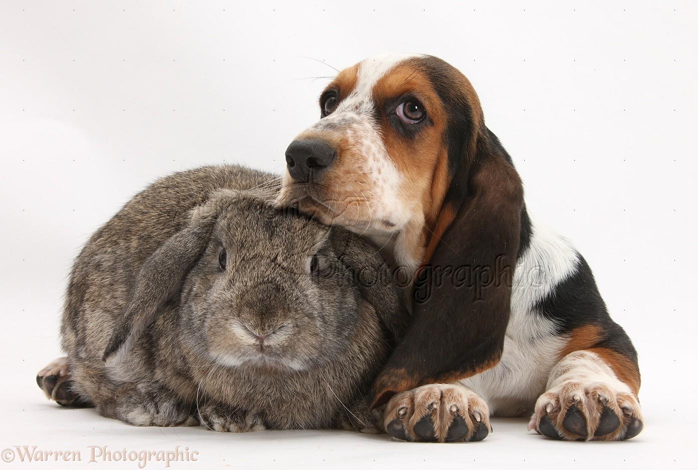 Basset Dog Rescue Uk
