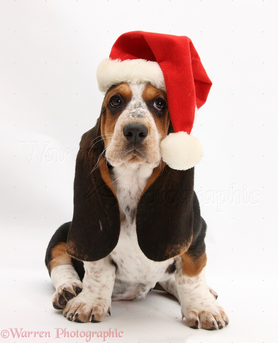 Basset hound pup betty 9 weeks old wearing a father christmas hat