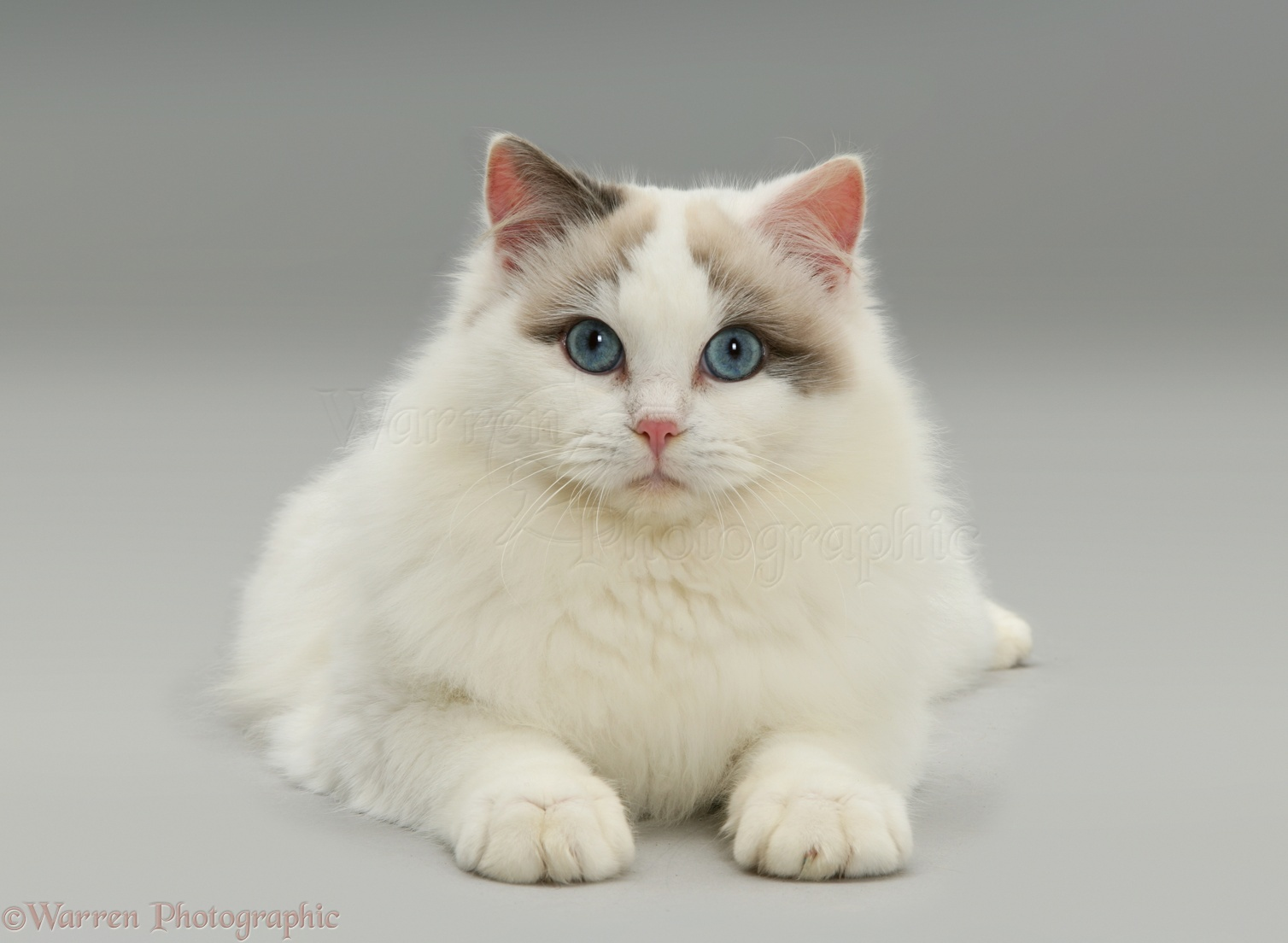 Lilac Bicolour Ragdoll Cat Lying With Head Up Photo WP20648