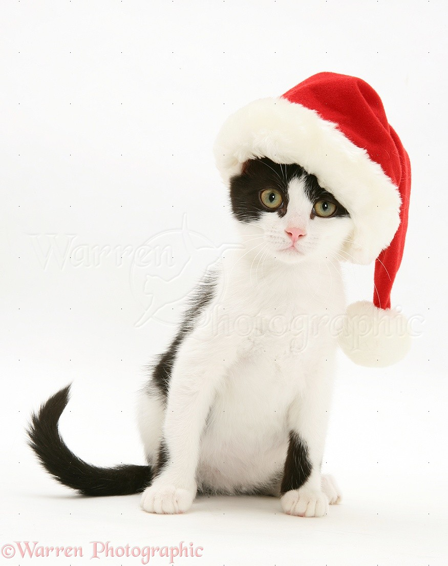 black and white kitten wearing a santa hat photo wp20653