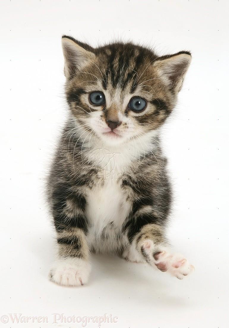Tabby And White Kitten Photo Wp20682