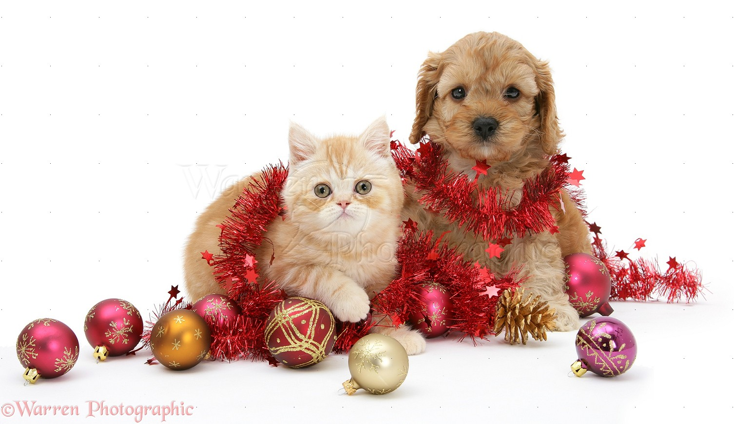 pets ginger kitten and golden cockapoo puppy with tinsel photo