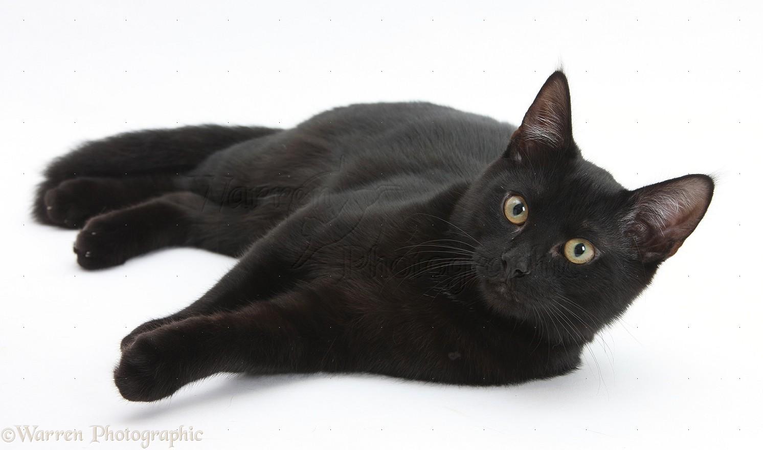 Hasil gambar untuk black cat