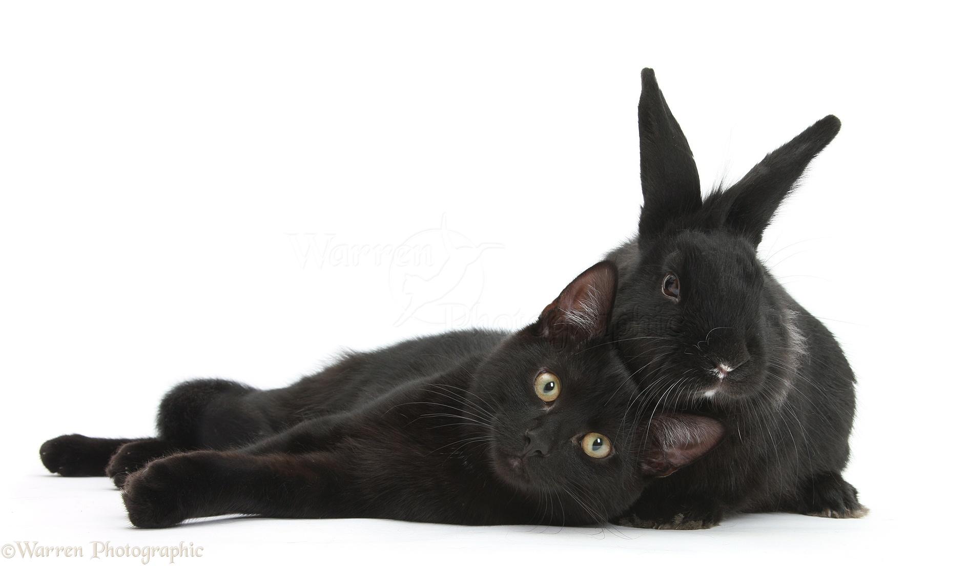 pets black cat and black rabbit photo wp20712