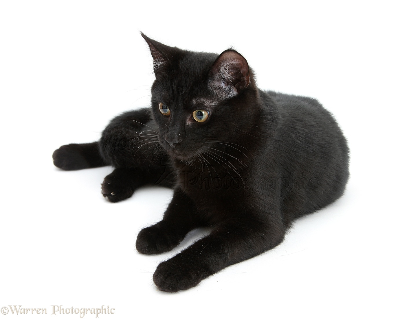Black cat photo WP