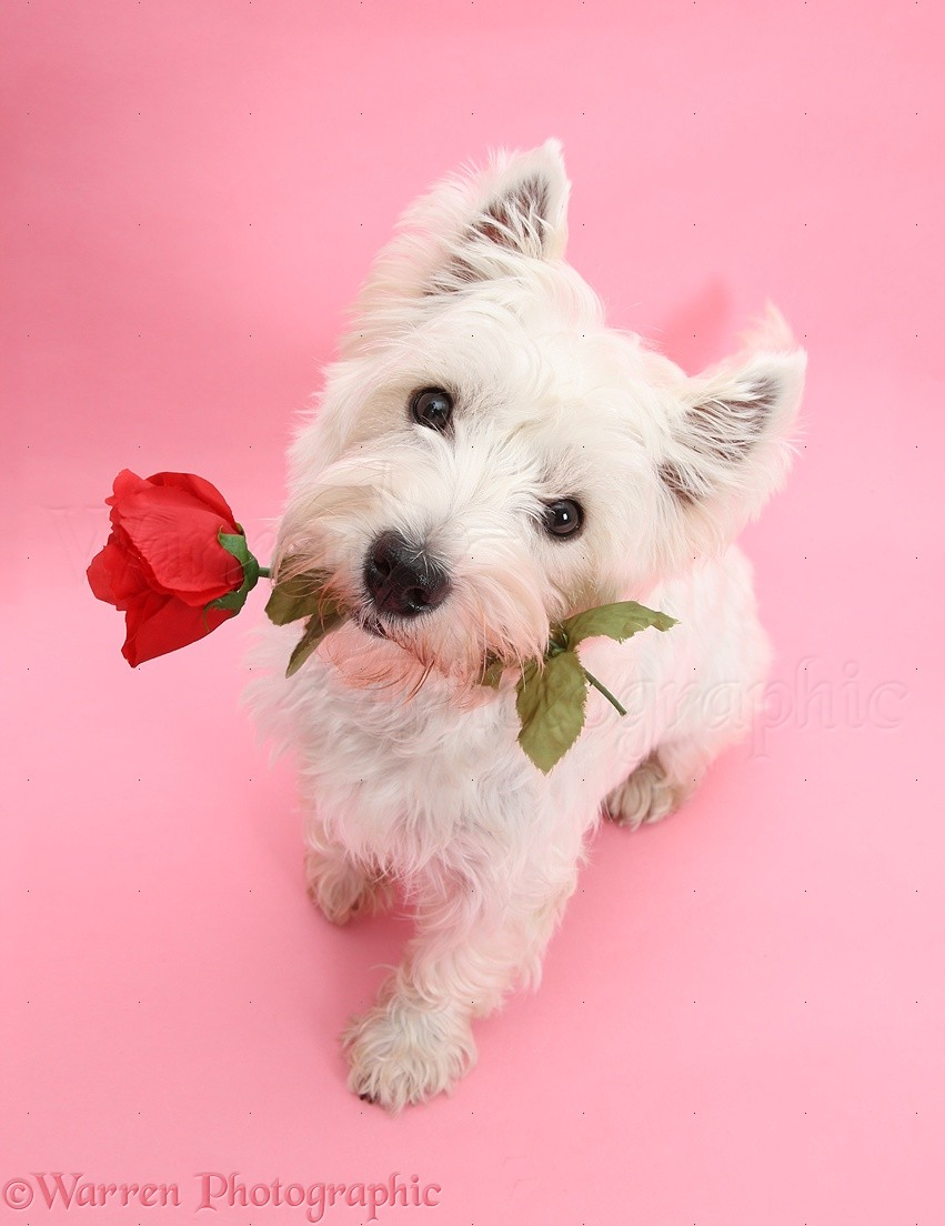 Animals In Action Photographs Of Westie With Red Rose