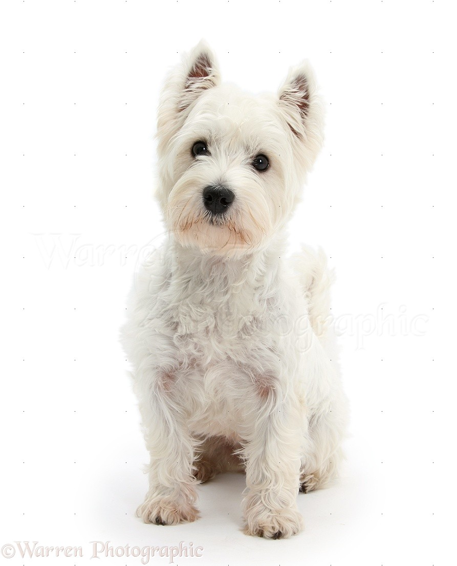 Pictures Of Small Terrier Dogs