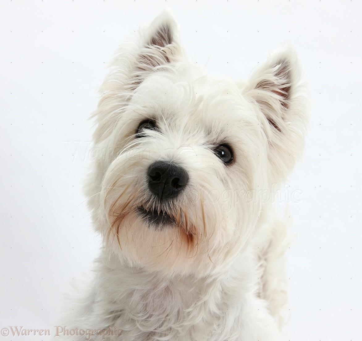 Dog Westie Portrait Photo WP20796