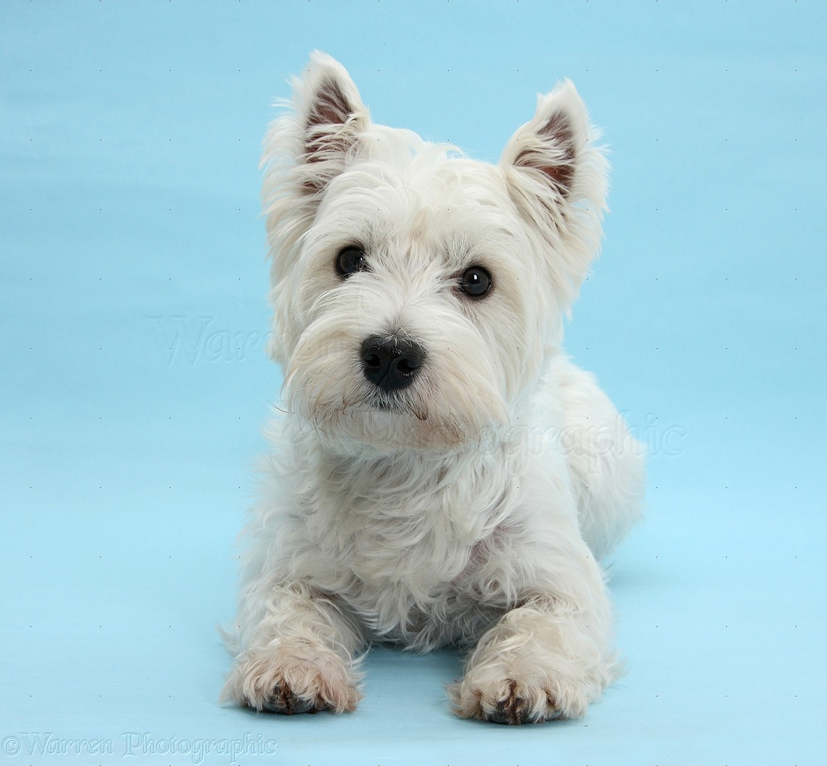 Cute dogs photographs westie lying with head up wp20807 - Pictures of westie dogs ...