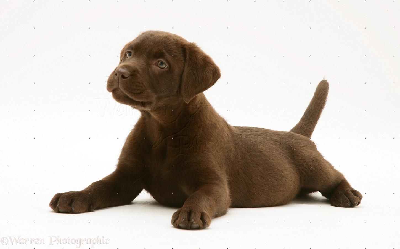 Dog: Chocolate Labrador Retriever pup photo - WP20818