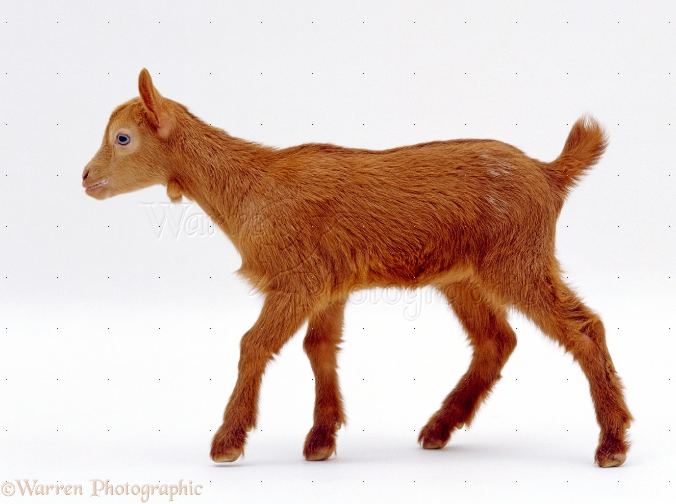 goat png images
