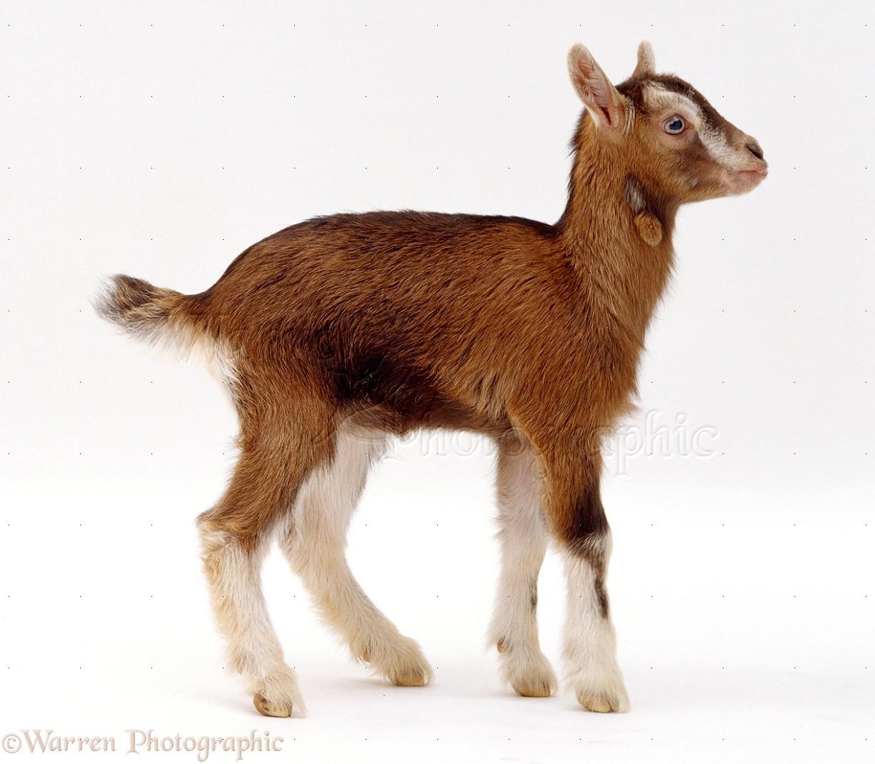 Goat kid photo WP20868  One Goat White Background