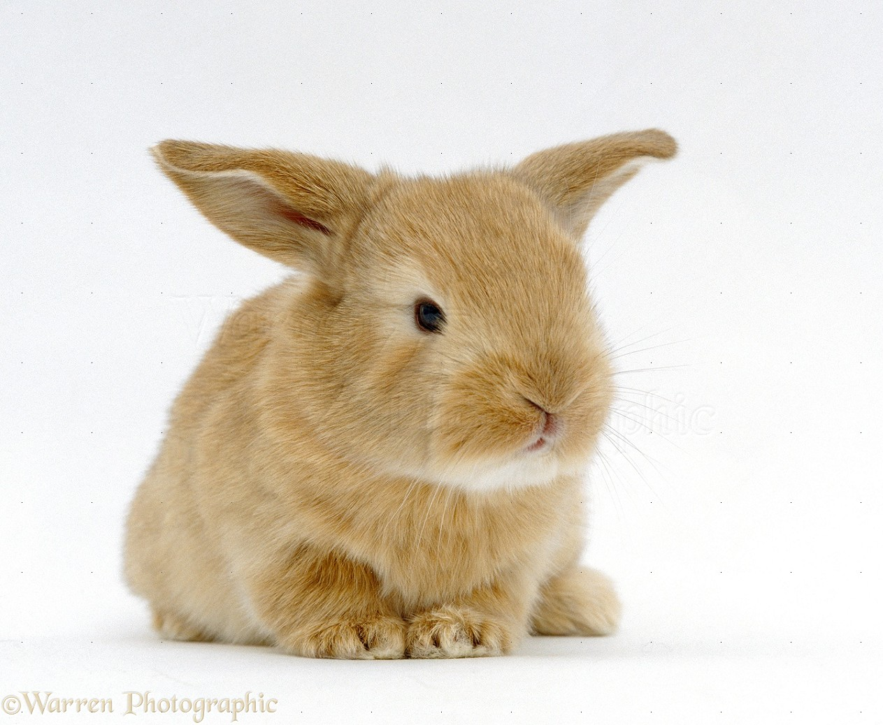 Baby lop eared rabbit - photo#9