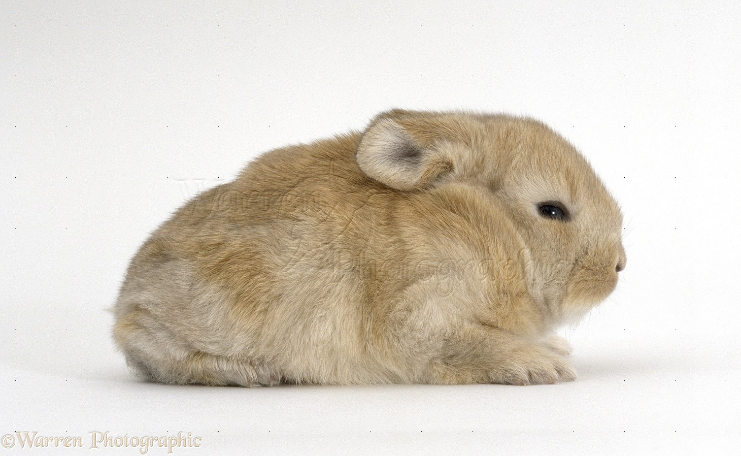 Baby lop eared rabbit - photo#13