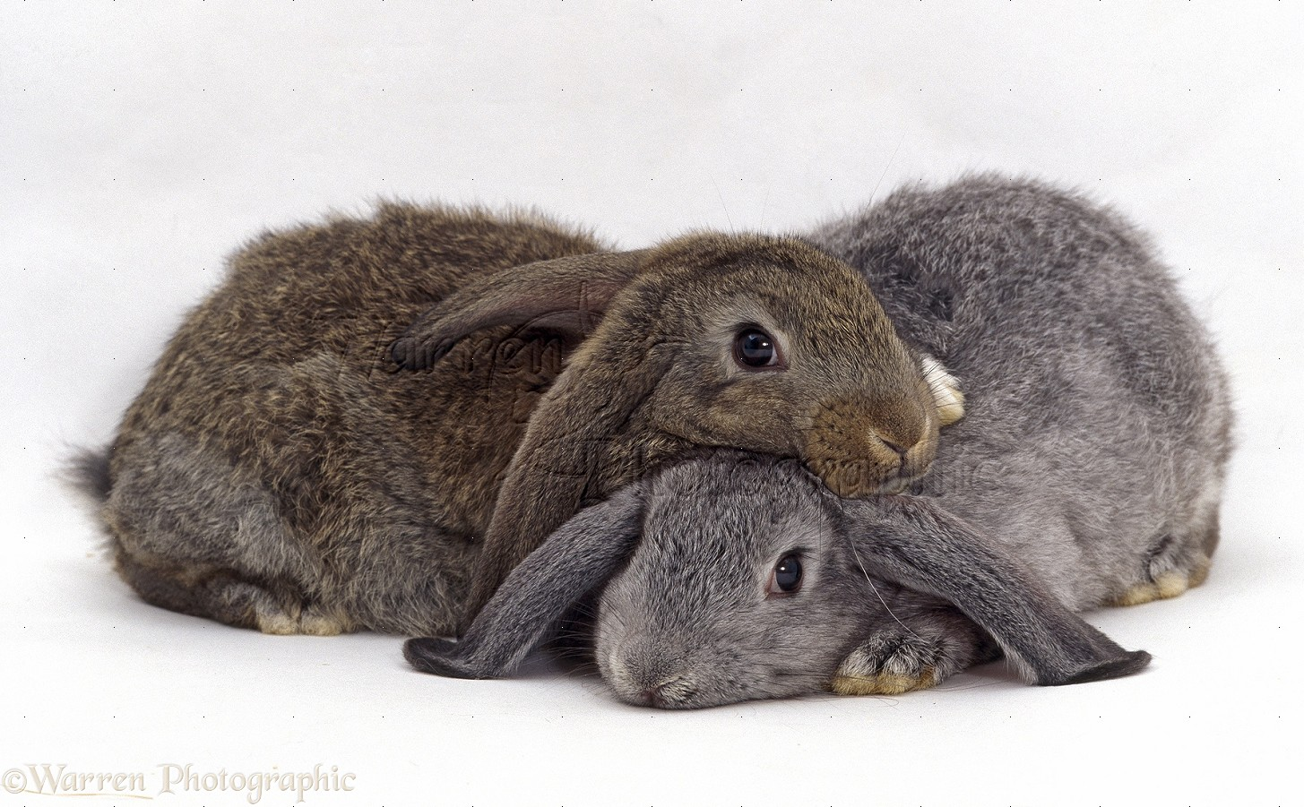 silver and agouti lop eared rabbits lying together photo rabbits verlag rabbits in australia