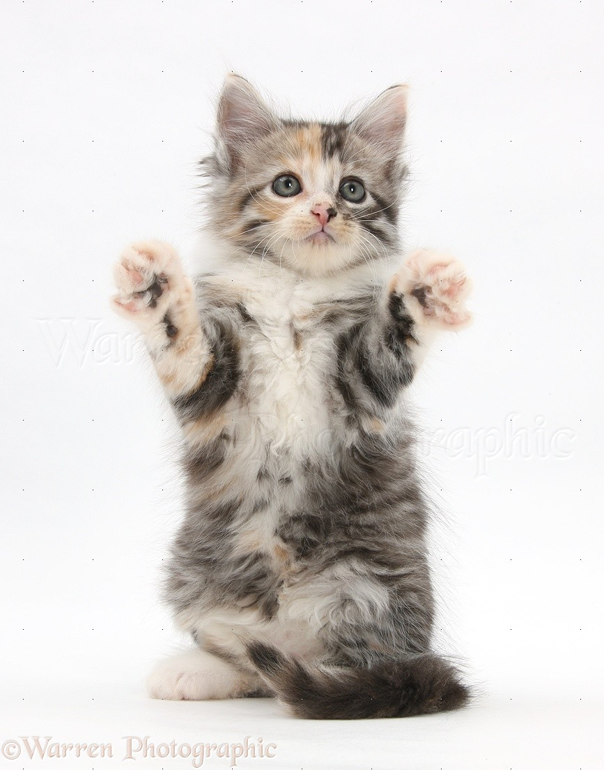 Maine Coon-cross kitten, 7 weeks old, reaching out photo ... Tabby Maine Coon Kitten