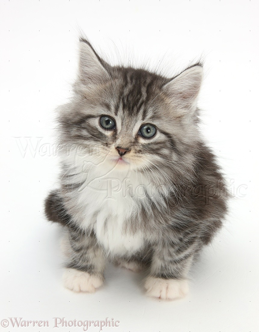 Mix maine ragdoll coon and Maine coon