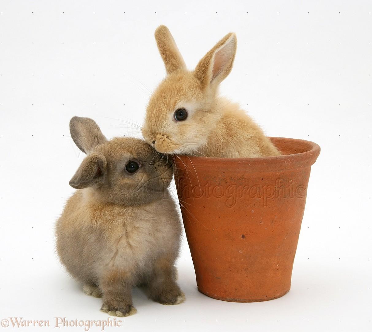 baby rabbit in an earthenware flowerpot photo   wp21395