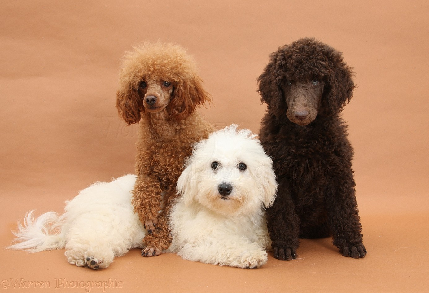 toy Adult poodle sale