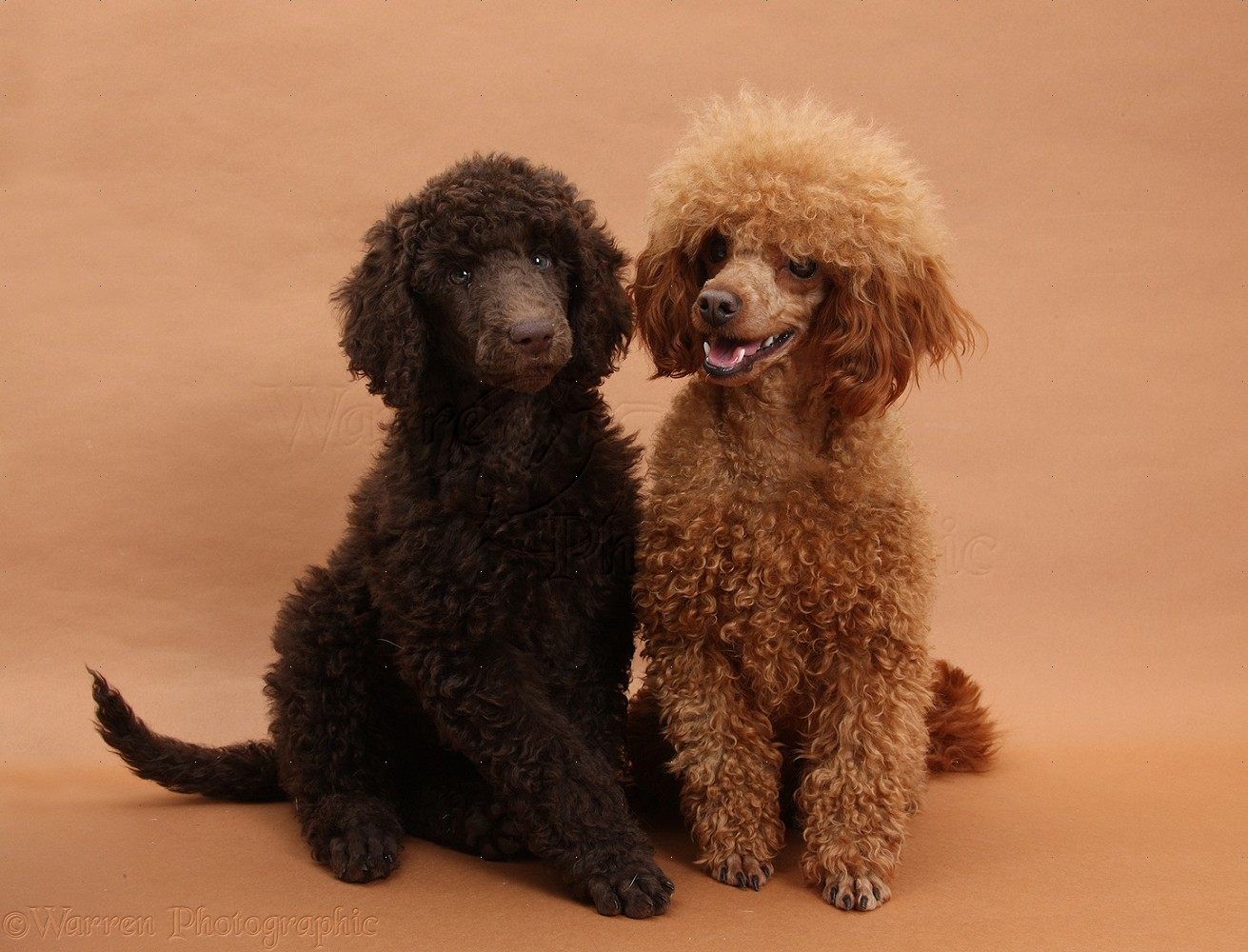 Adult standard poodle for Sale Search amp Adopt a Standard