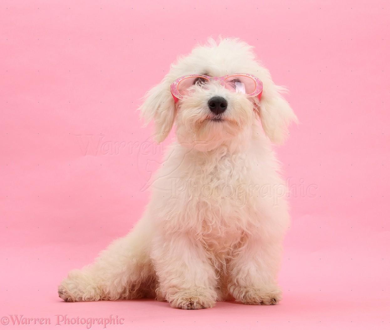 pics photos   bichon frise wearing pink glasses