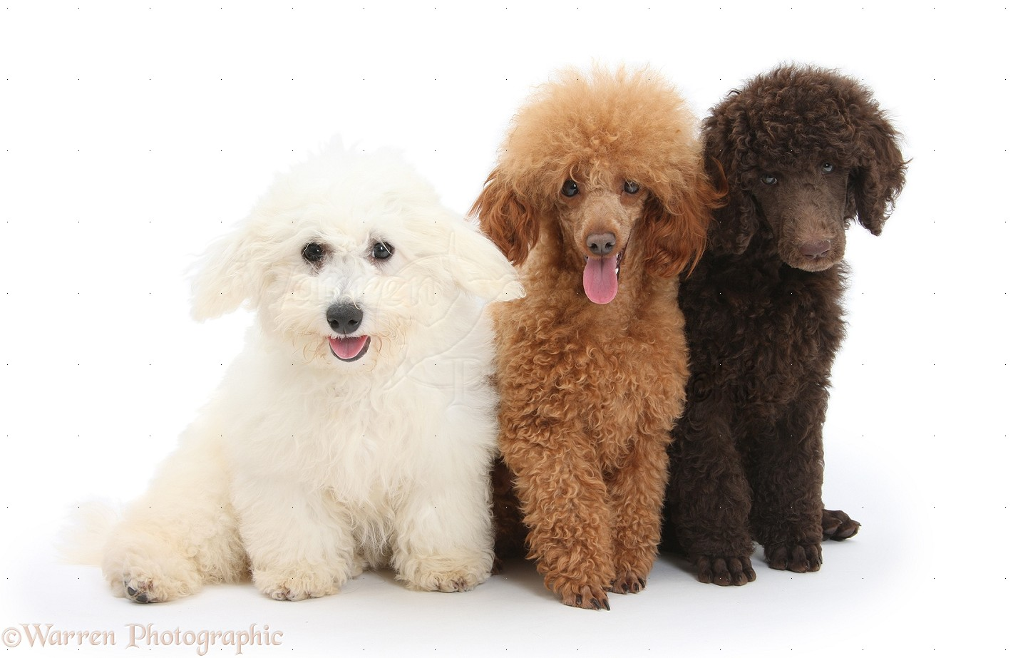 Dogs: Bichon, Standard Poodle pup and adult toy poodle photo - WP21422