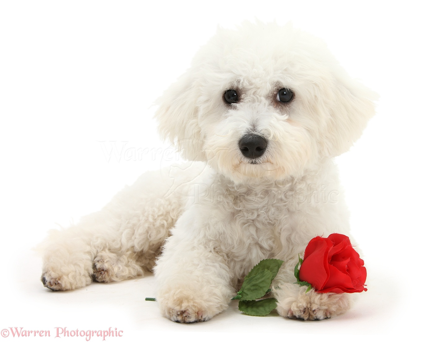 dog  bichon frise with a red rose photo wp21467