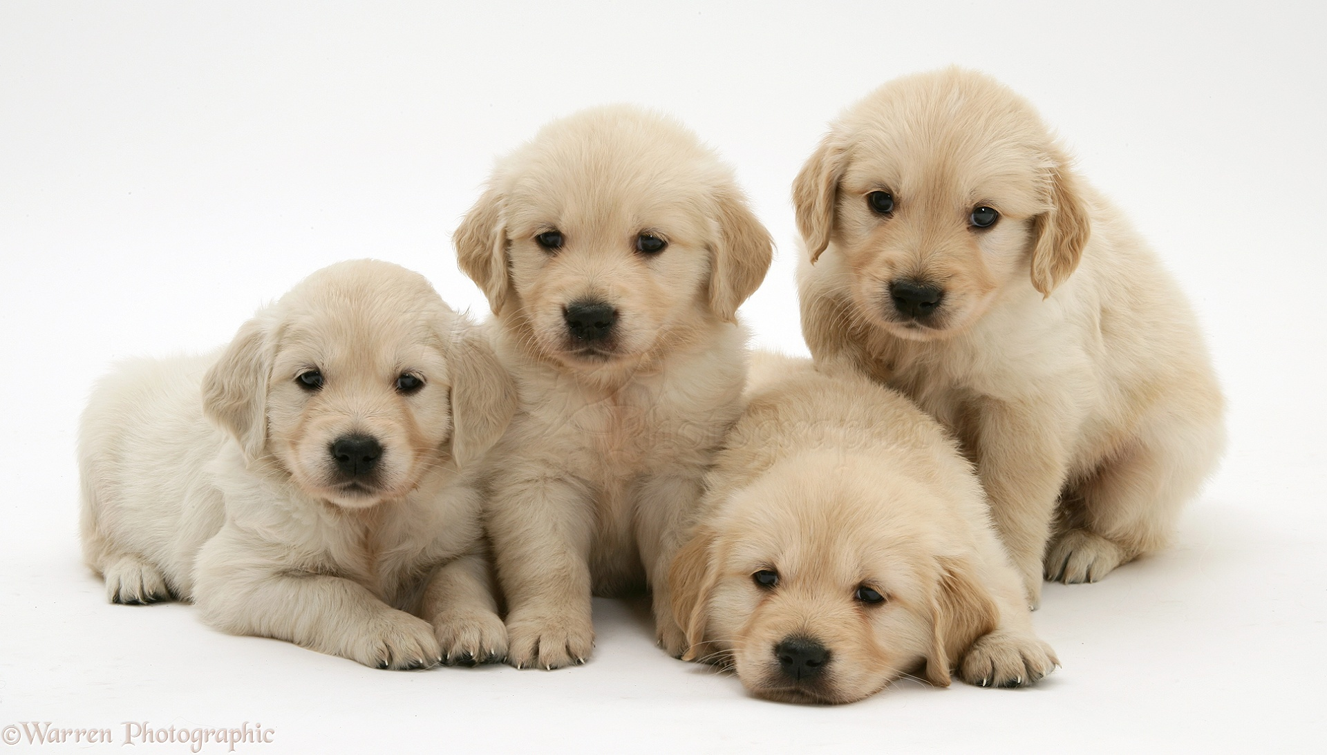 Dogs Four Golden Retriever Puppies In A Row Photo Wp21507