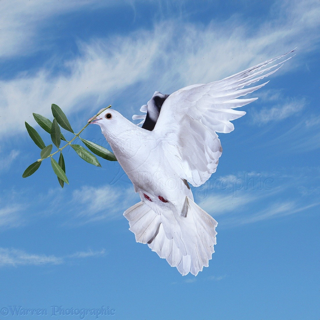 peace dove with olive branch photo wp21517