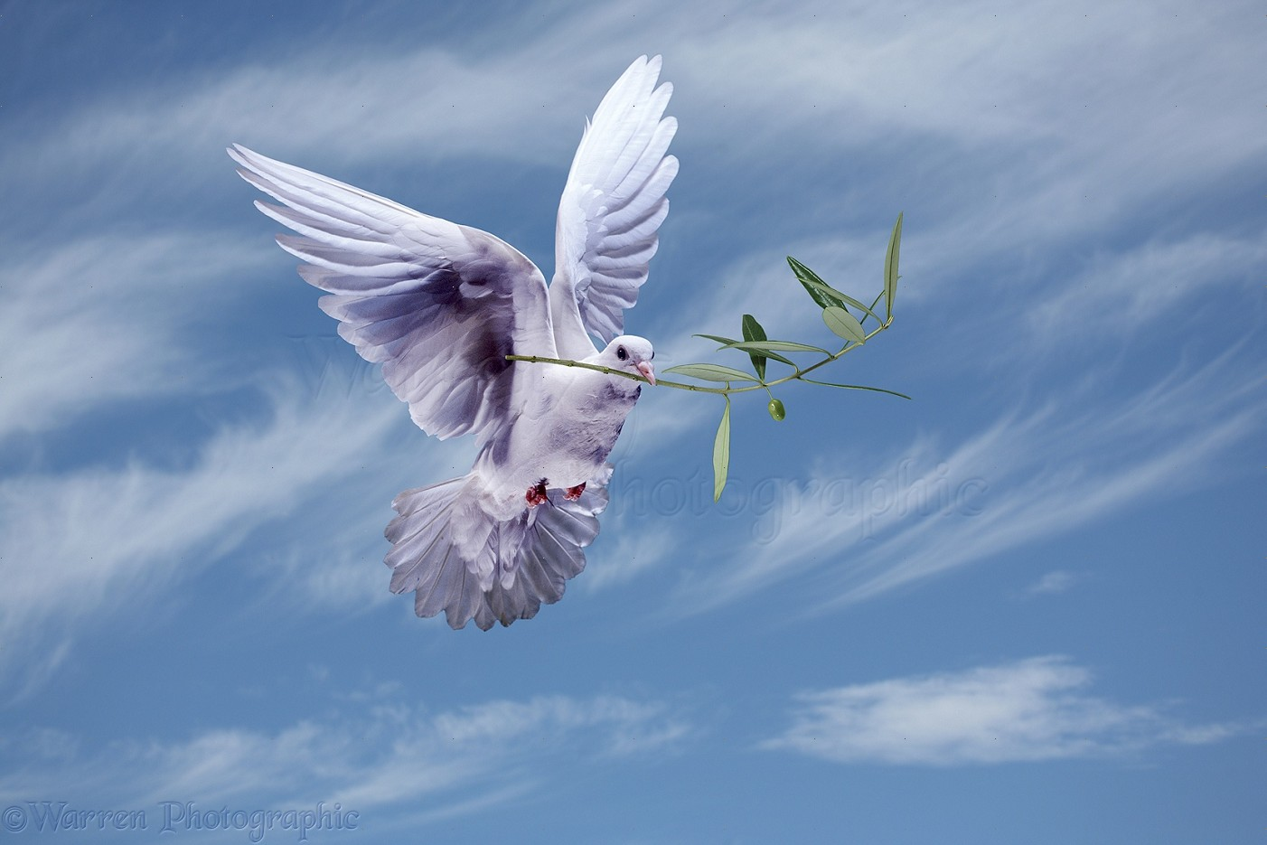 Peace Dove With Olive Branch Photo Wp21520