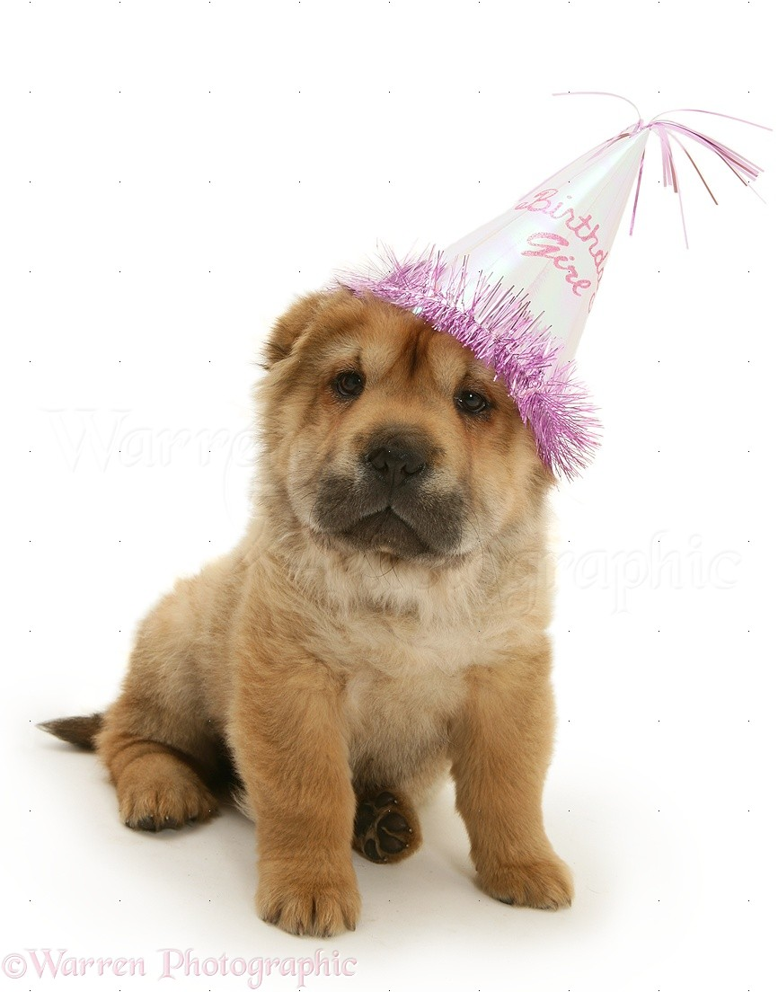 WP21547 Shar Pei Pup Wearing A Birthday Party Hat