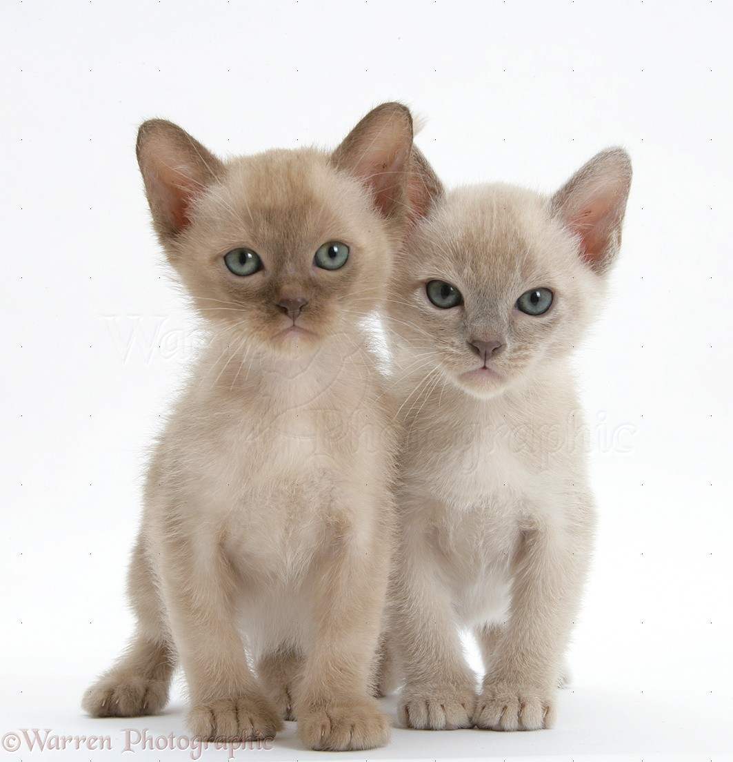 Burmese Kittens For Sale Best Cat And Kitten Image And HD 2017