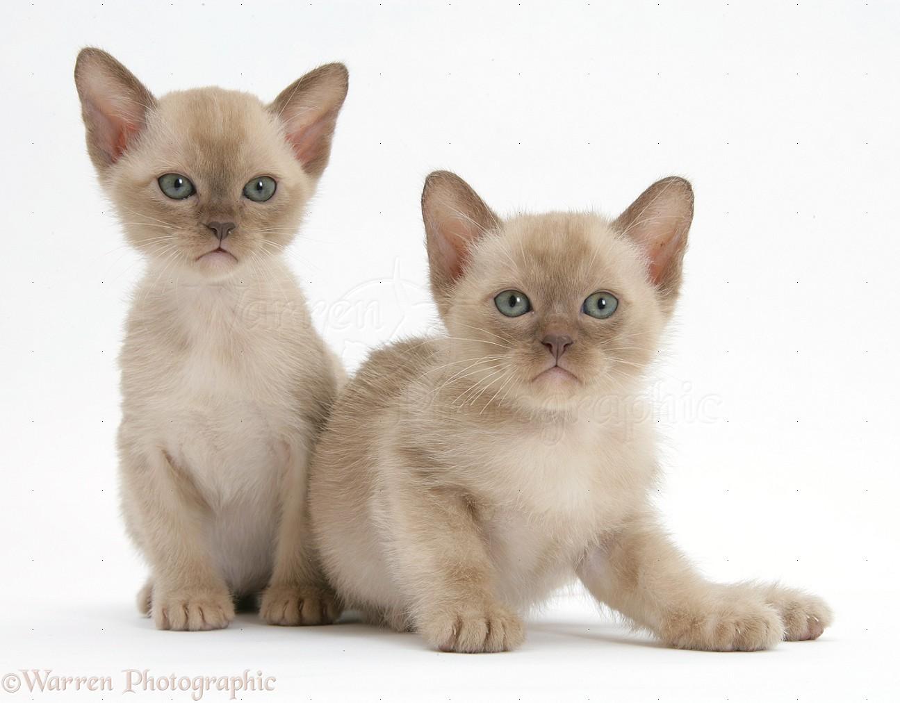 Adopt A Siamese Cat Uk