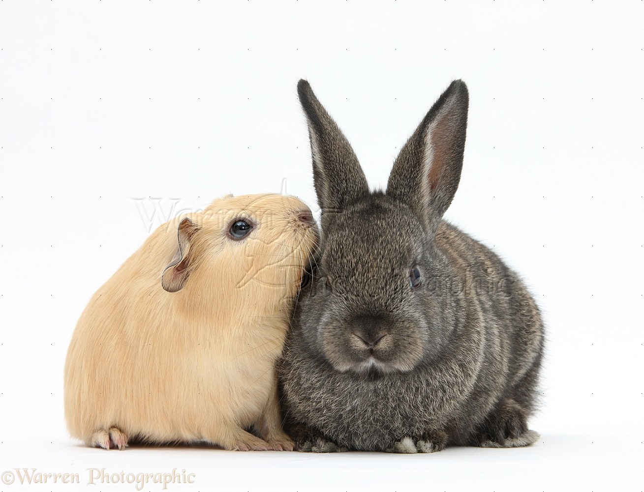 Pets: Baby agouti rabbit and baby yellow Guinea pig photo ...