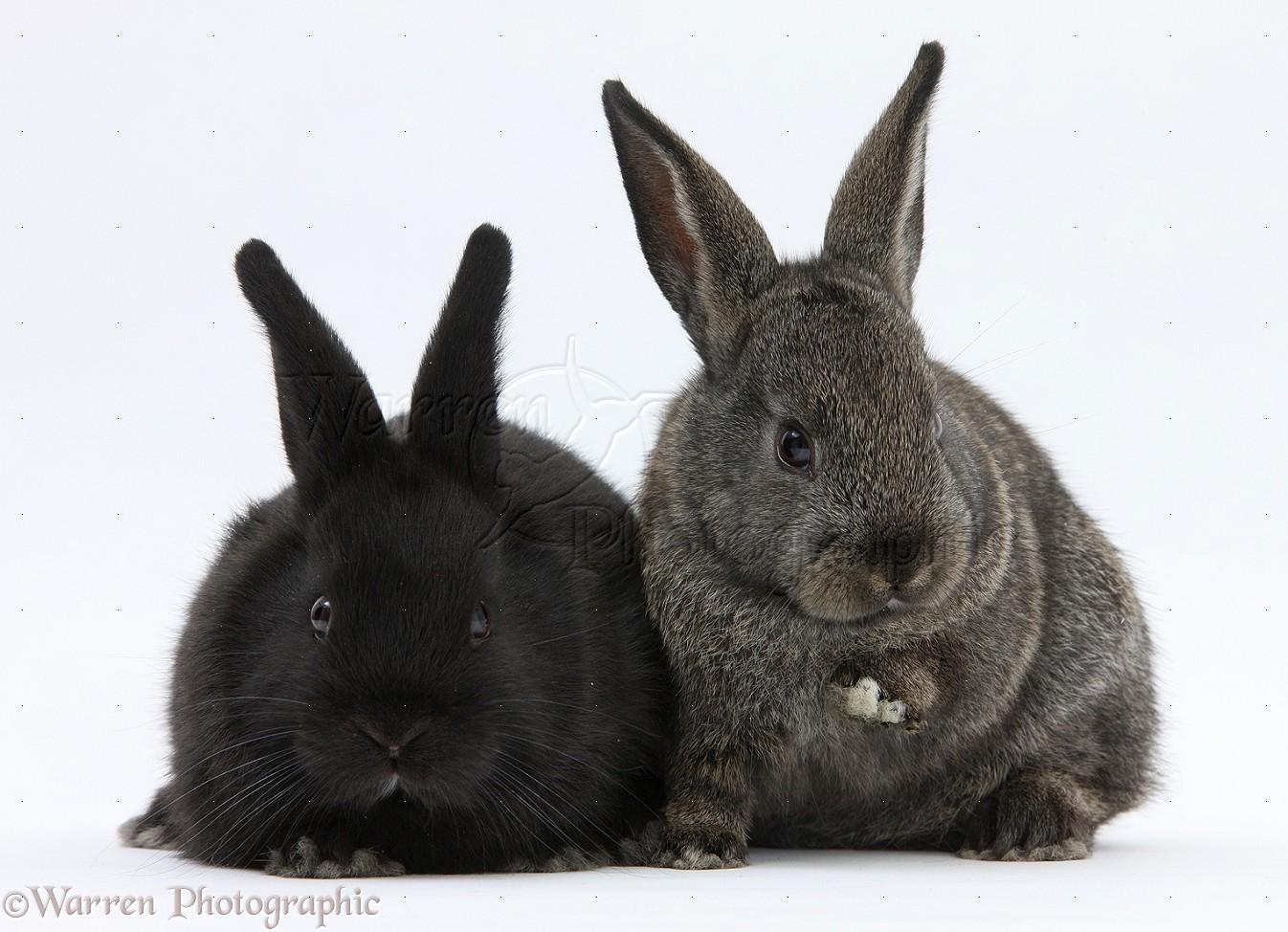 Baby agouti and black rabbits photo WP21594