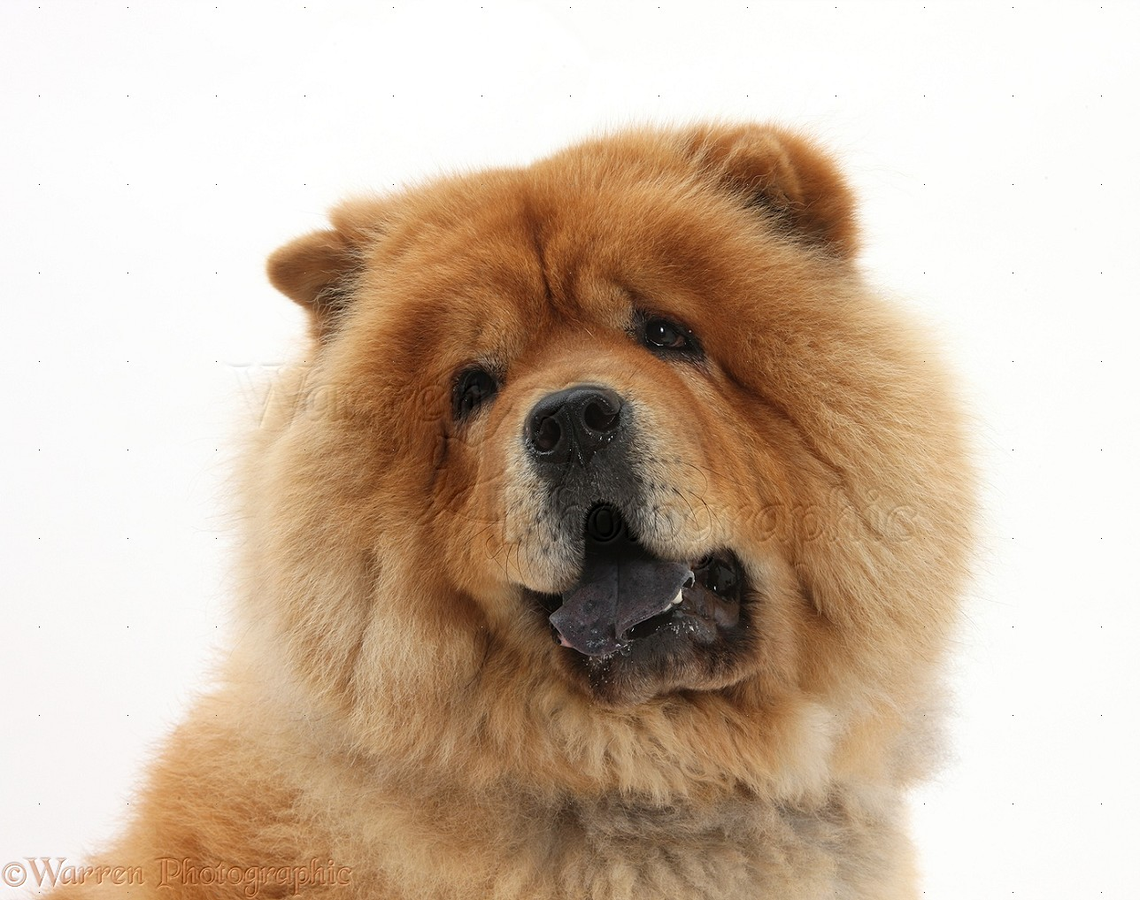Pictures Of Chow Chow Dogs And Puppies