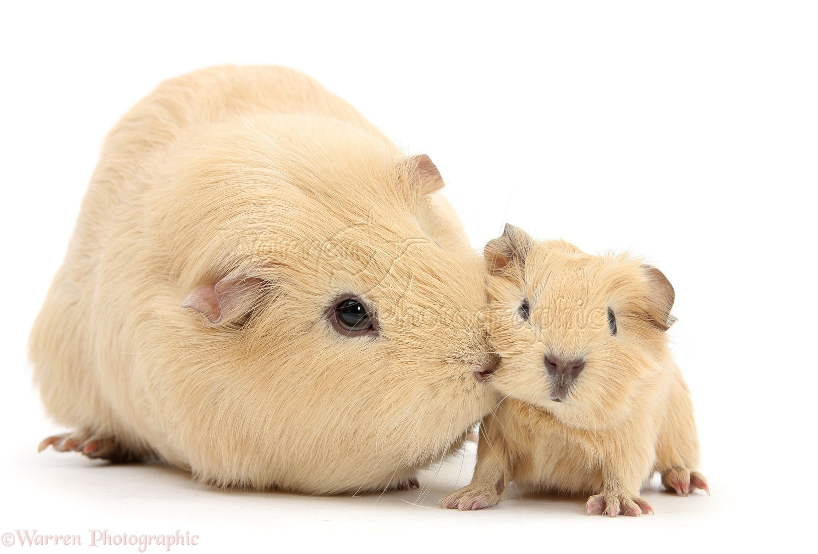 What do baby hamsters look like 10
