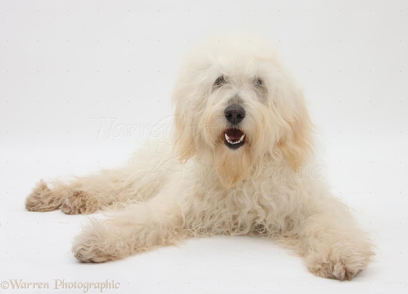 Dog White Labradoodle Bitch Photo Wp21650