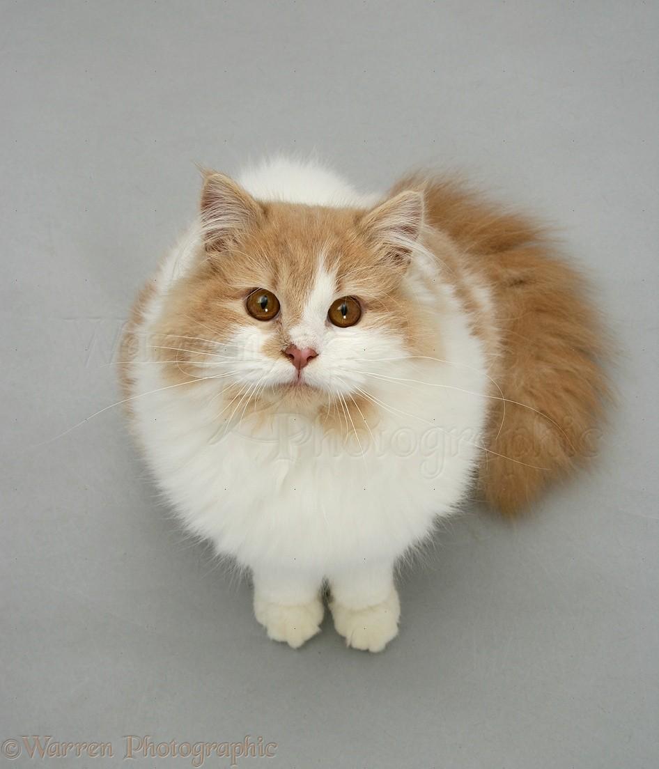 White Ginger Ragdoll Cat