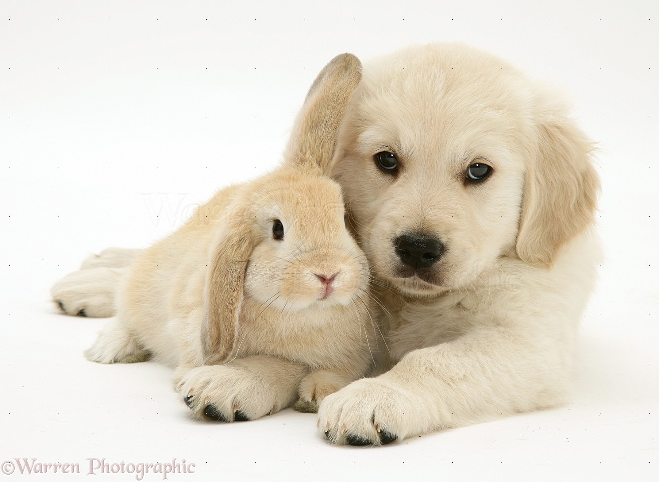 Pets Golden Retriever Pup With Young Sandy Lop Rabbit Photo Wp21720
