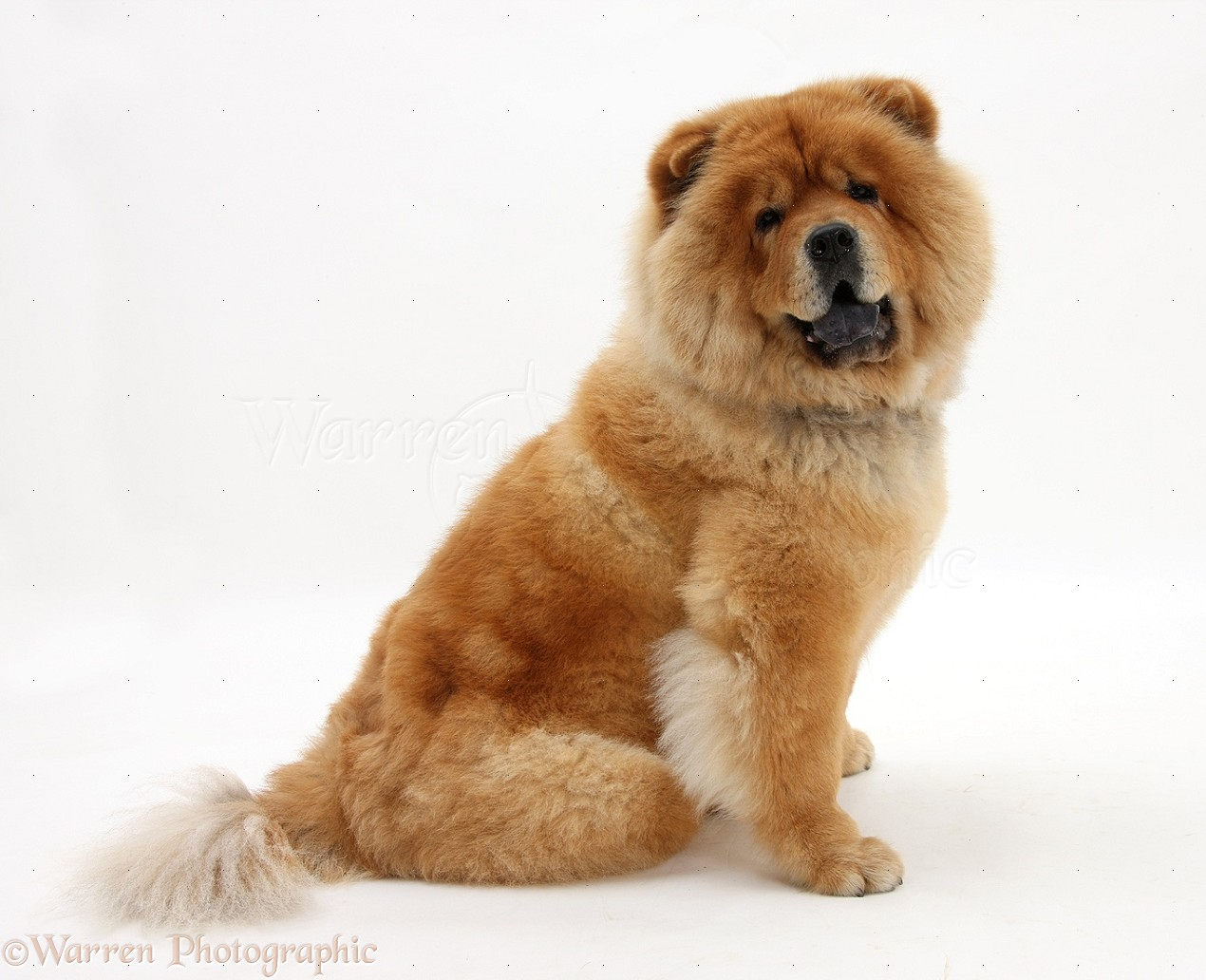 Wp21721 chow chow dog chico