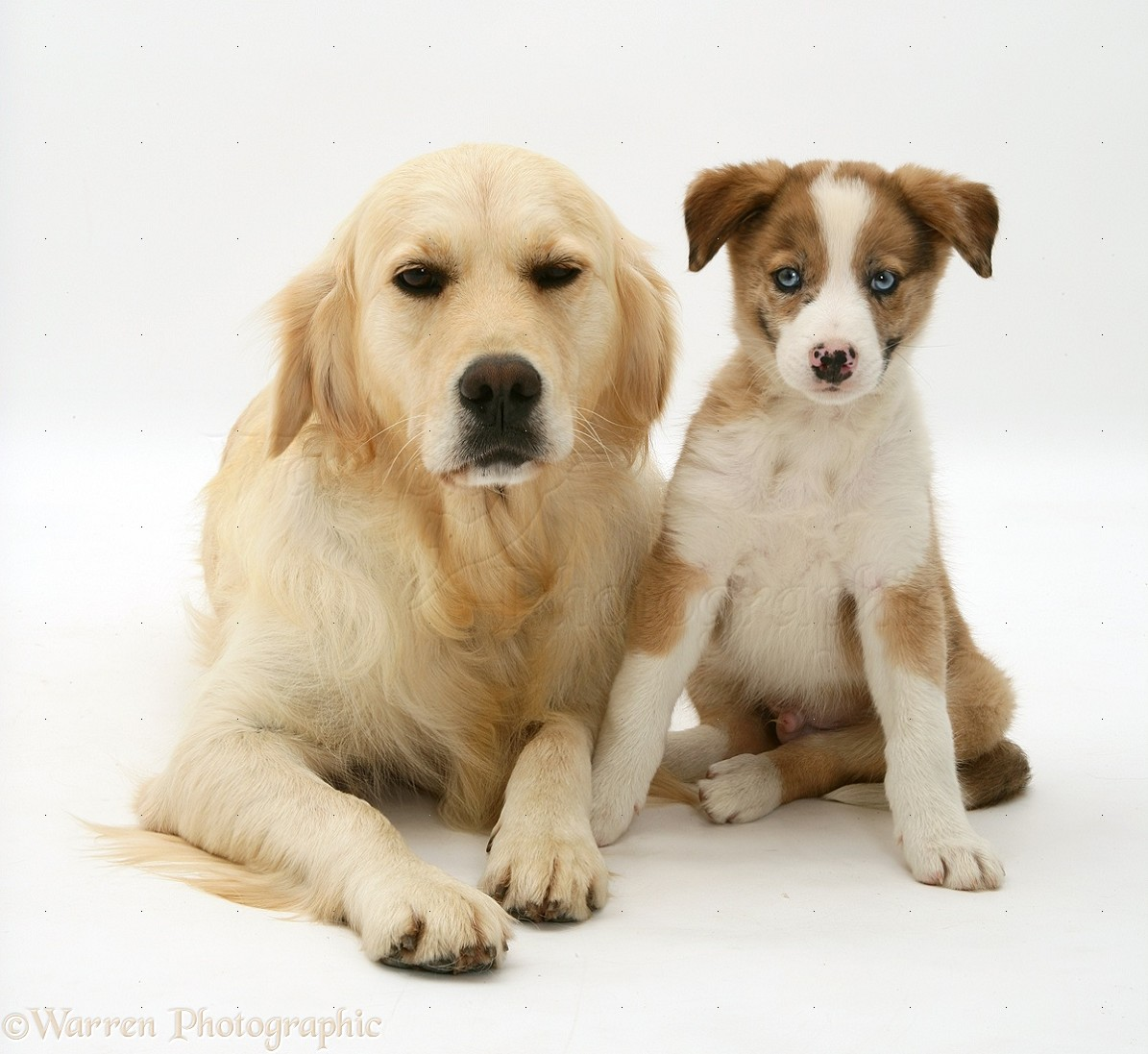 Dogs Golden Retriever And Border Collie Pup Photo Wp21763