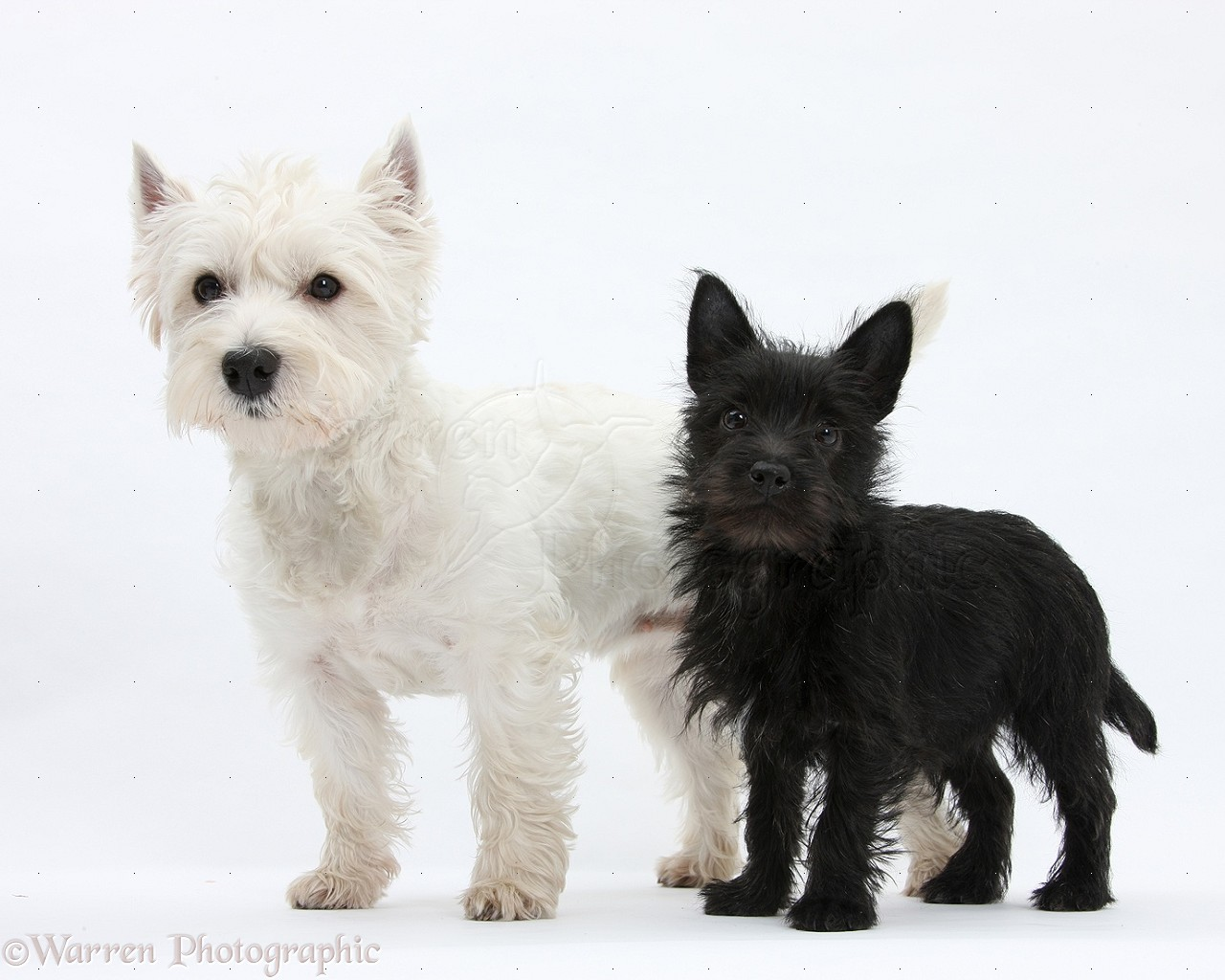Dogs: Westie and black...