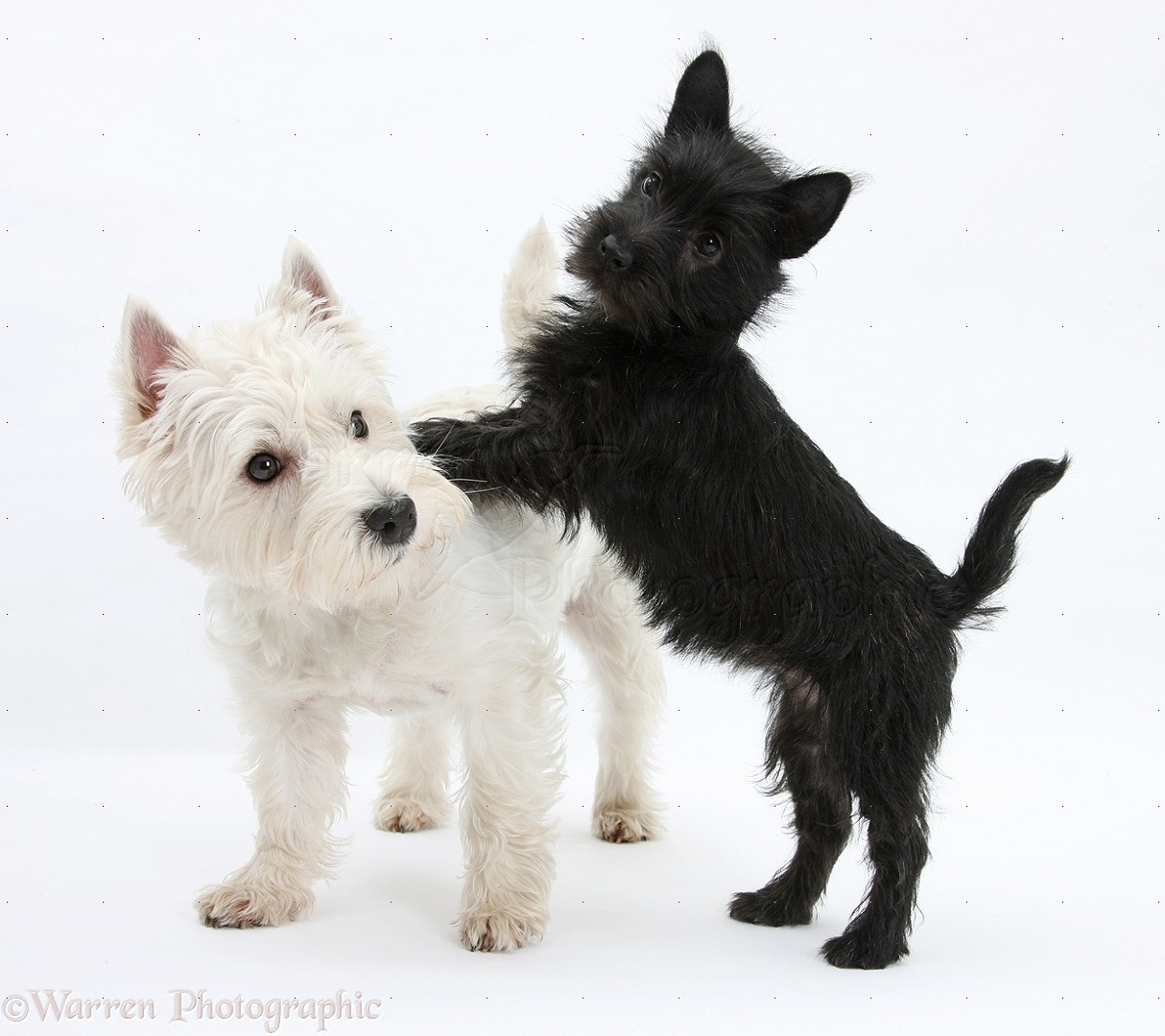 Dogs: Westie and playful black Terrier-cross puppy photo ...