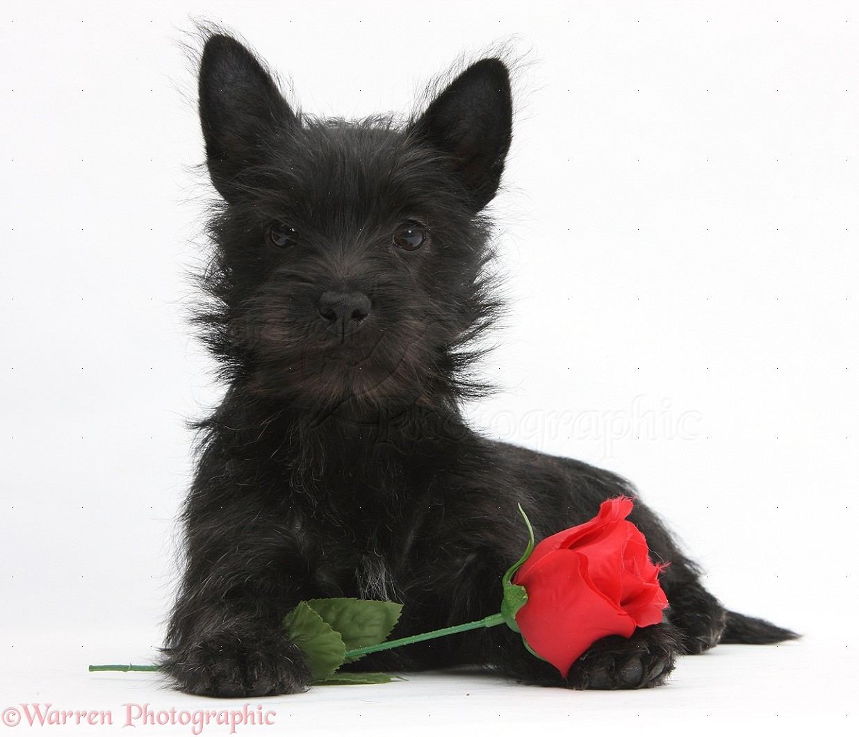 Wp21818 Black Terrier-cross