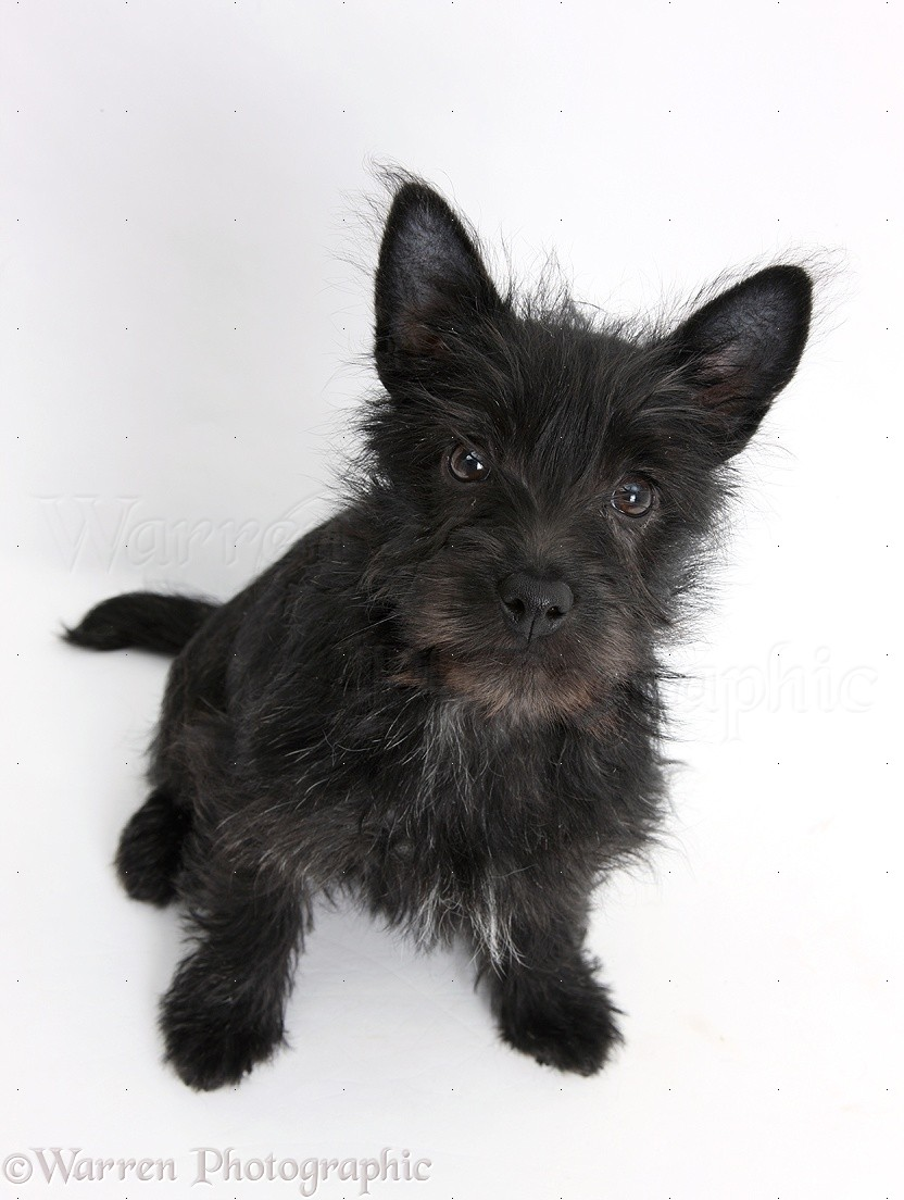 WP21820 Black Terrier-cross puppy, Maisy , 3 months old, sitting and