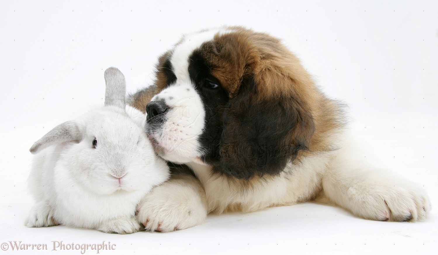 Pets Saint Bernard Puppy And White Rabbit Photo Wp21854