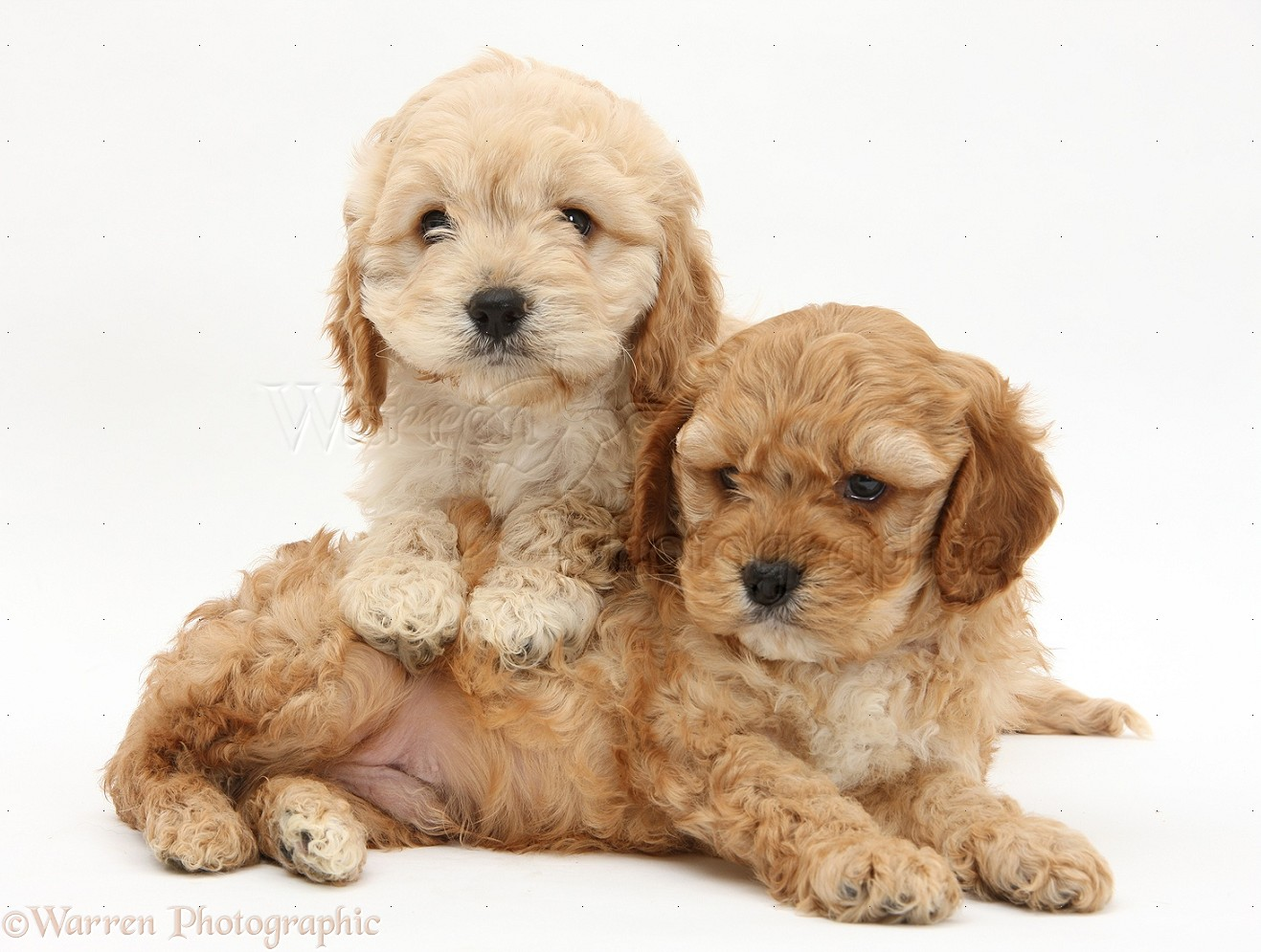 Dogs: Golden Cockapoo pups photo WP21894