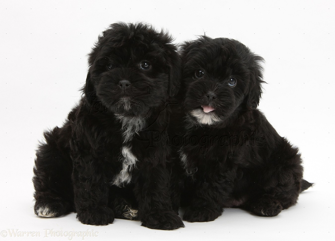 Dogs Black Pooshi Poodle X Shih Tzu Pups Photo Wp21897