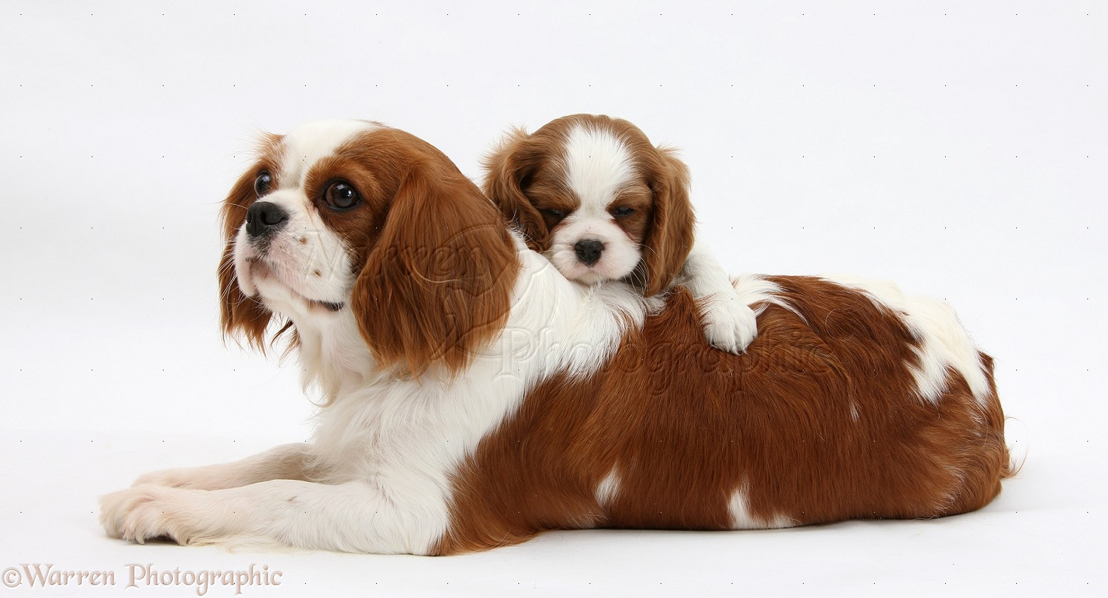 21907 blenheim cavalier king charles spaniel mother and pup white background
